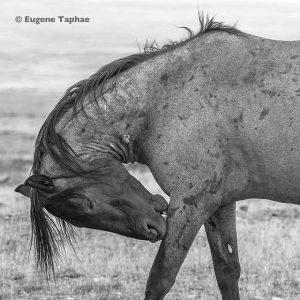'Wild Grace, Wild Spirit' by Eugene Tapahe, silver halide print limited edition of 100